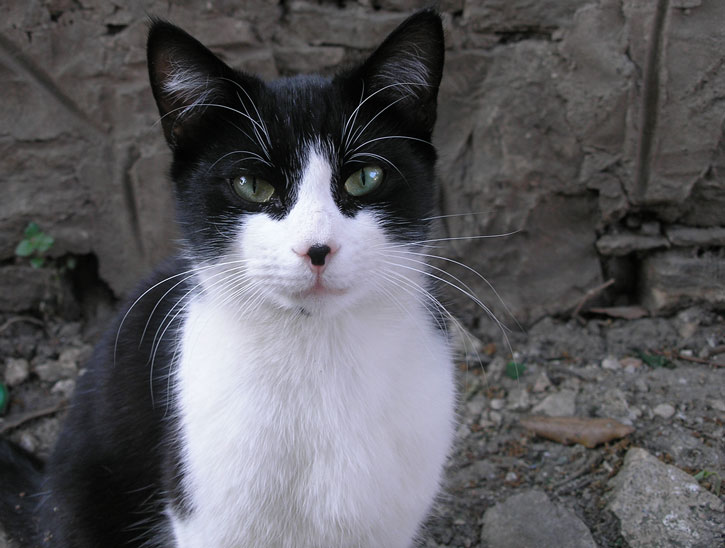 Black and white cat with black nose. Wikimedia commons.