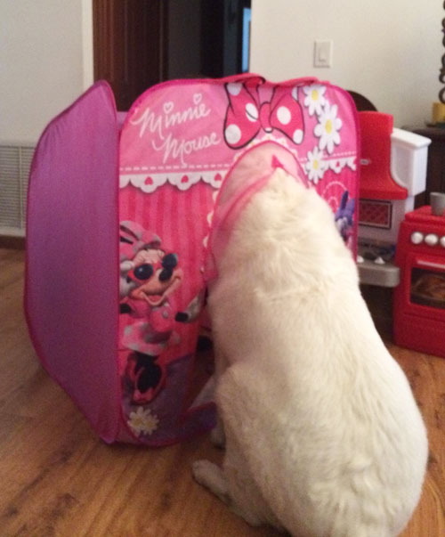 White-furred German Shepherd dog with head in a baby theatre