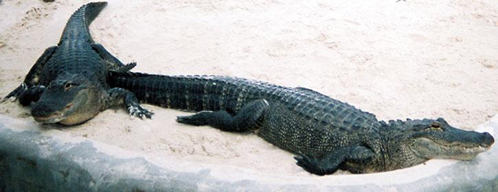Alligators in a zoo