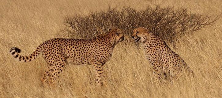 Two cheetahs in the savannah