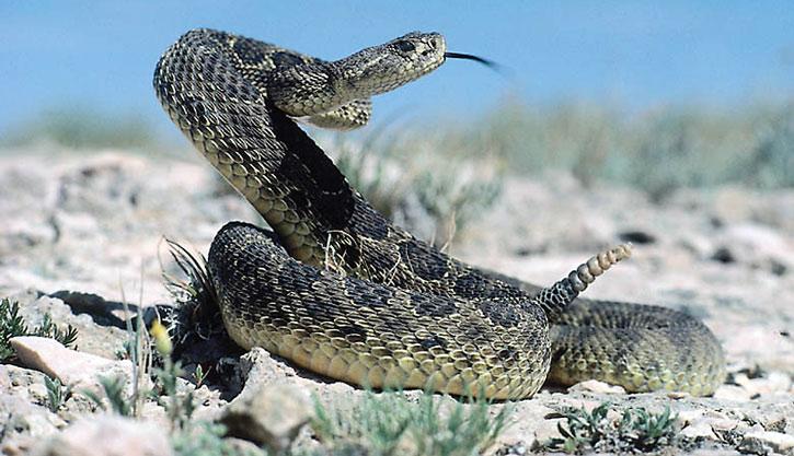 A coiled cobra