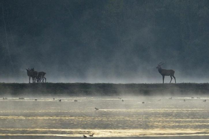 Deer across a river