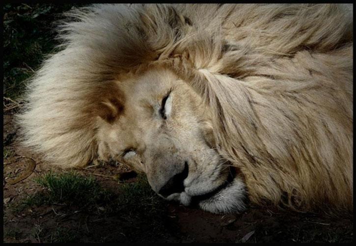 A lion sleeping