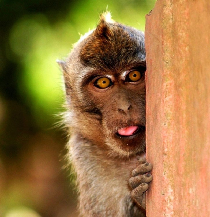 A monkey hiding behind wood