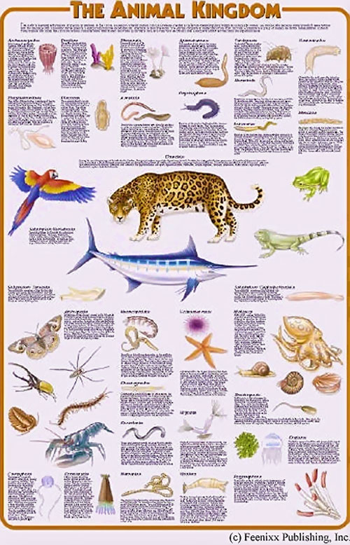 Animal kingdom educational poster by Feenixx Publishing