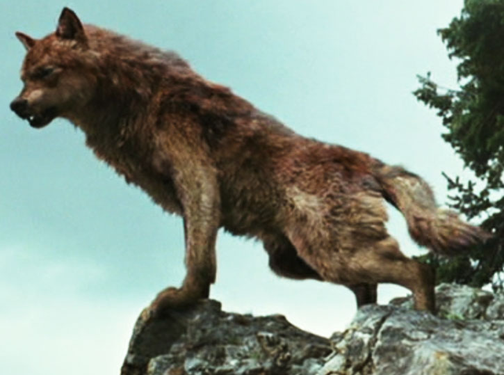Jacob Black (Taylor Lautner) in wolf form