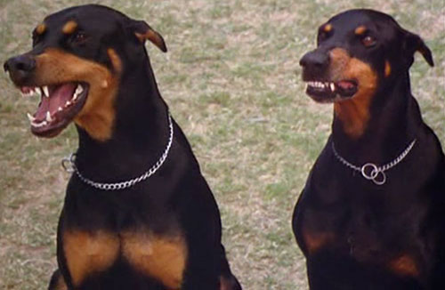Zeus and Apollo (Magnum PI dogs)