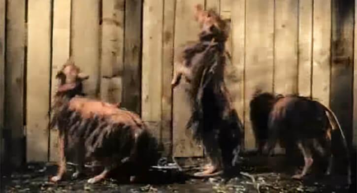 Killer Shrews - 1959 horror movie - Fenced off