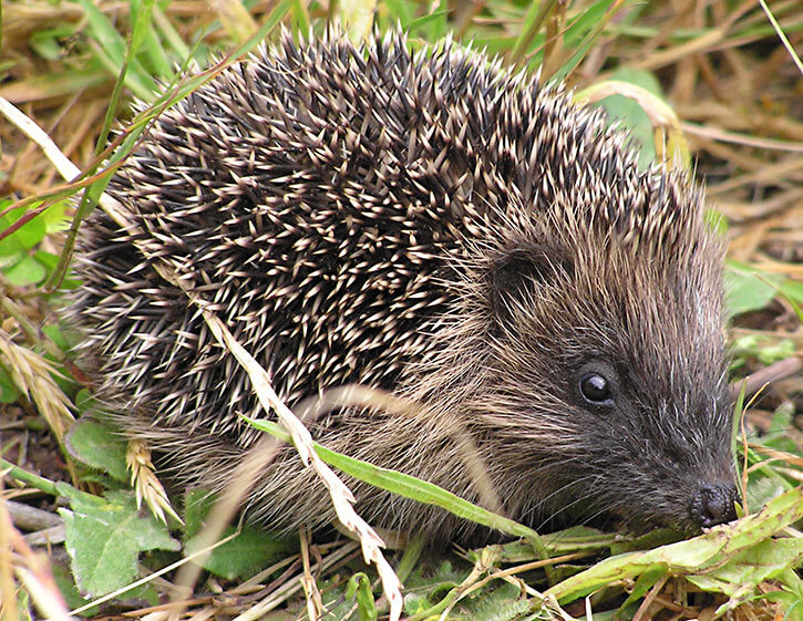 Hegehog photograph from the Smithsonian