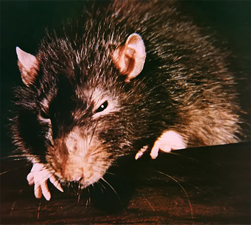Willard (2003 rat movie with Crispin Glover) Ben the gambian pouched rat